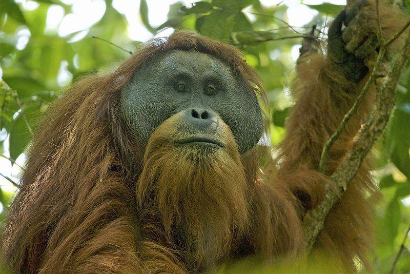 Уже через несколько лет орангутанов Тапанули можно будет увидеть только на картинках