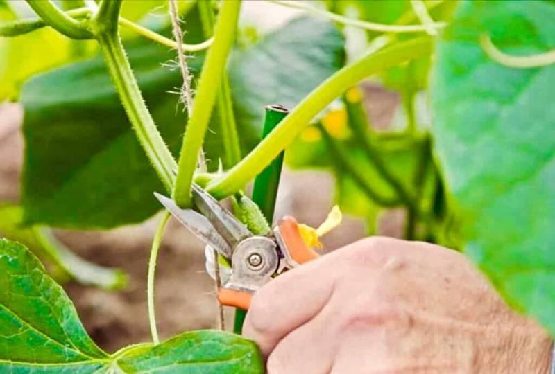 Дачный лайфхак, чтобы увеличить урожай огурцов вдвое